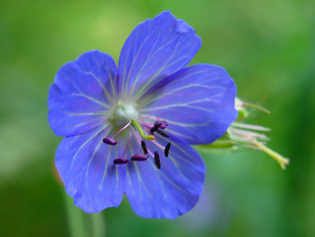 Blue Flower - Free image #277491