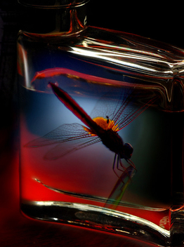 Dragonfly in a bottle - image gratuit #277521