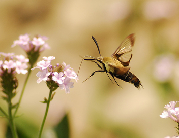 Hummingbird Moth in Flight - image gratuit #277831