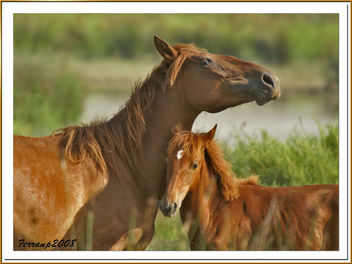 caballos (madre e hija) 03 - cavalls del Remolar (mare i filla) - horses (mother and son) - Free image #277911