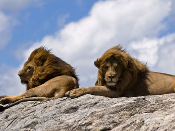 Male Lions on Rock - image #278211 gratis