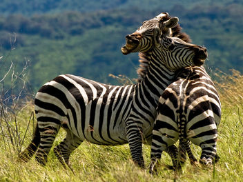 Duelling Zebras - Kostenloses image #278221