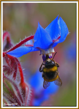 abejorro libando una borraja 02 - bumble bee sucking a borage flower - borinot libant una borraina - бесплатный image #278391