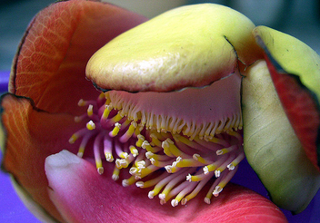 Cannonball flower- Inner beautiful close view - бесплатный image #278521