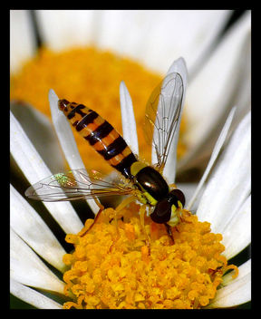 Hoverfly Sucking Nectar - бесплатный image #278661
