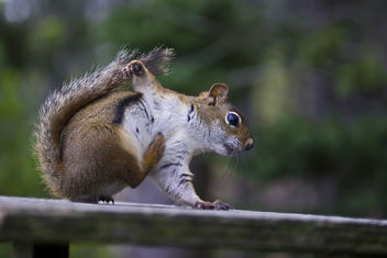 breakdancing squirrel - image #278771 gratis