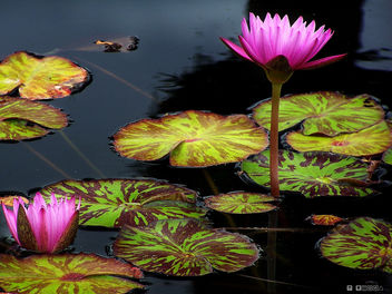 Flower Still Water - image gratuit #278991