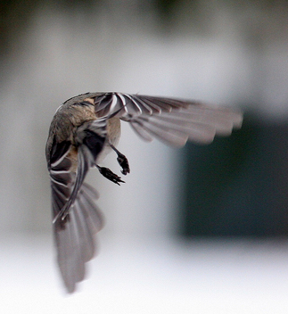 Black-capped Chickadee in Flight (2 0f 2) - image #279451 gratis
