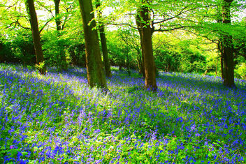 Bluebell Forest - Kostenloses image #279801