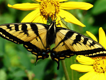 Western tiger swallowtail - Free image #280181