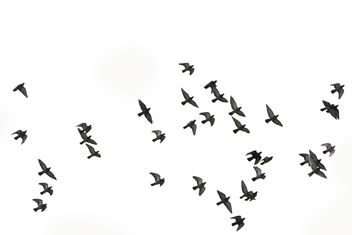 pigeons in flight - make your own bird brush using this photo - image #280571 gratis