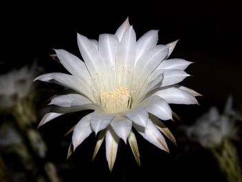 Nightblooming Cereus Cactus - бесплатный image #280671