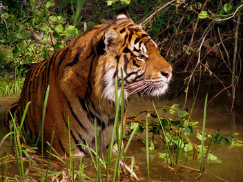 I'm a tiger, a cat of prey... - Free image #280711