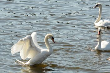 Swans on the lake - image #281001 gratis