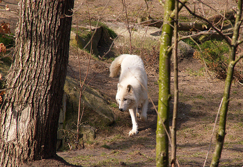 Artic Wolf 001 - Free image #281221