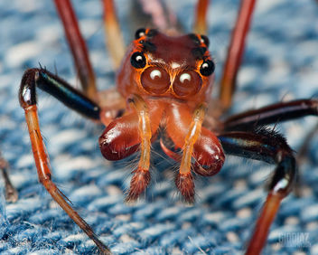 Red Jumping Spider [Salticidae] Jumped On My Pants - бесплатный image #281381