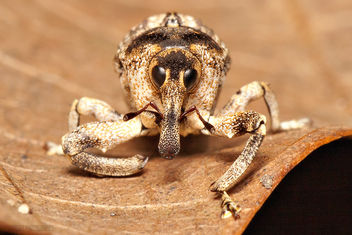 Elephant Weevil in Waiting [Orthorhinus cylindrirostris] - Free image #281581