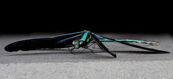 Ebony Jewelwing, side, MD, PG County_2013-06-11-18.13.12 ZS PMax - image gratuit #281791