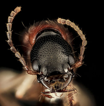 Rove beetle, U, Face, Upper Marlboro, MD_2013-08-21-16.34.44 ZS PMax - Kostenloses image #282011