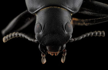 Darkling Beetle, head, Upper Marlboro_2013-10-08-22.41.15 ZS PMax - бесплатный image #282121