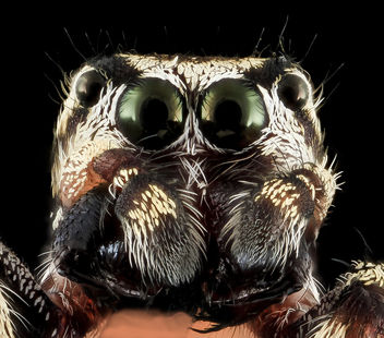 jumping spider 7, face, upper marlboro, md_2013-10-18-11.52.59 ZS PMax - Free image #282141