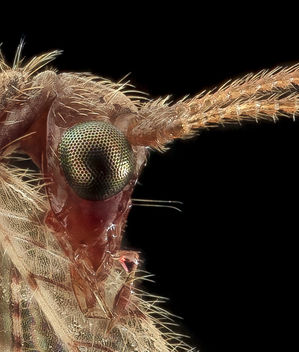 Brown Lacewing, head crop, Upper Marlboro_2013-10-18-11.33.42 ZS PMax - Kostenloses image #282151