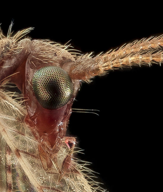 Brown Lacewing, head crop, Upper Marlboro_2013-10-18-11.33.42 Zs Pmax - Free image #282151
