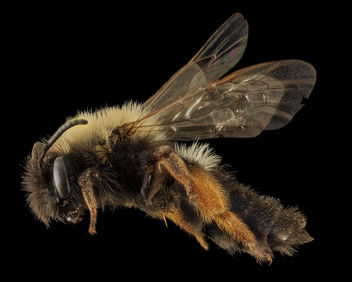 Andrena clarkella, F, side 1, Hancock co_2014-01-06-14.20.45 ZS PMax-Recovered - Kostenloses image #282361