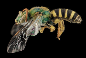 Agapostemon virescens, M, side, Mesa Co,. Colorado_2014-01-08-14.56.08 ZS PMax - бесплатный image #282371