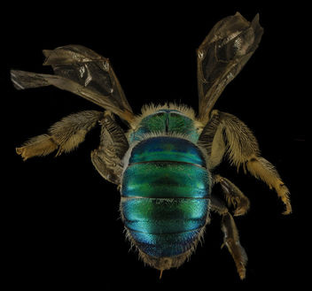 Agapostemon sericeus, F, Back, MD, PG County_2014-01-31-16.16.17 ZS PMax - Free image #282481