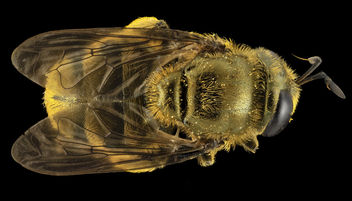 Fly Golden Baby, back, MD, Prince Georges County_2014-05-23-17.17.00 ZS PMax - Free image #282731