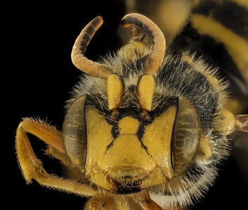 Nomada affabilis, M, Face, OH, Washington County_2014-05-23-16.24.28 ZS PMax - Free image #282751