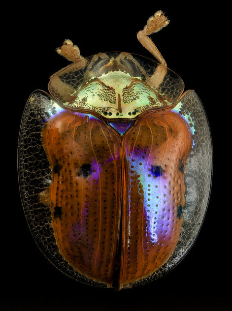 golden tortoise beetle, back, upper marlboro, md_2014-06-04-13.25.12 ZS PMax - Kostenloses image #282771