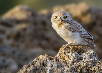Little Owl - Free image #282811