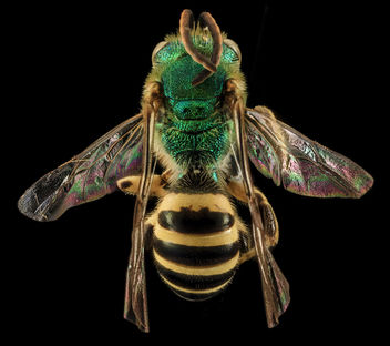 Agapostemon sericeus, M, back, Pr. Georges Co., Maryland_2014-01-20-13.16 - image #283021 gratis