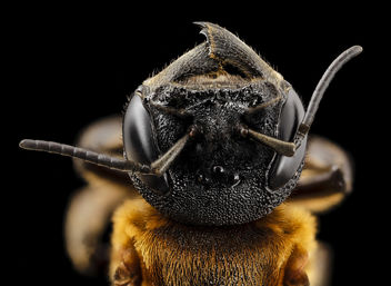 Megachile sculpturalis, f, face, md, kent county_2014-07-21-17.11.43 ZS PMax - Free image #283031