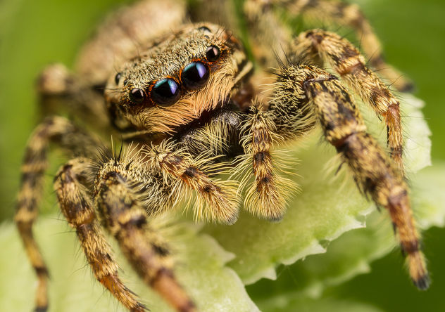 Jumping Spider - Free image #283191
