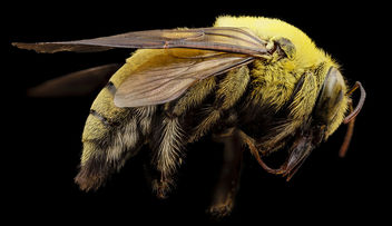 xylocopa india yellow, m, india, angle_2014-08-10-10.55.37 ZS PMax - Free image #283271