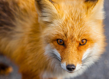 Foxes of Island Beach State Park New Jersey - бесплатный image #283501