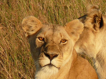 Lionesses resting ! - Free image #283701