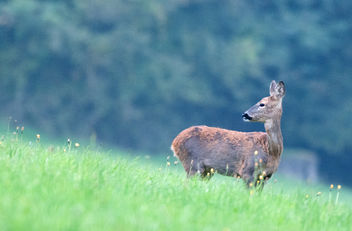 Roe Deer, Cotswolds, Gloucestershire - бесплатный image #283971