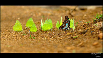 Mud-puddling of Jay and Emigrants - Free image #284301