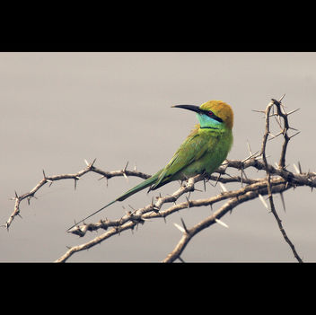 Green Bee Eater - Free image #285841