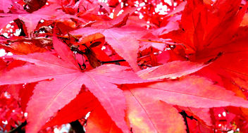 Red Leaves Queenswood Park Hereford #dailyshoot - Kostenloses image #286051