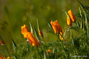 Poppies - image #286091 gratis