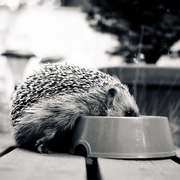 hedgehog 6 - Free image #286531