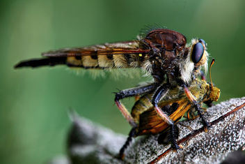 robberfly - Free image #286811