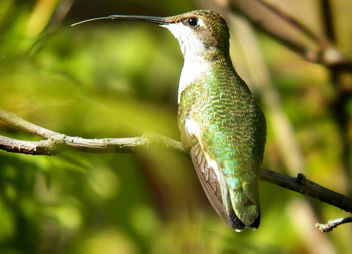 Humming-Bird-Tongue - Free image #286991