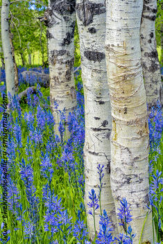Aspens and wild flowers in nature - бесплатный image #288381