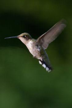 Ruby Throated Hummingbird - image gratuit #288521